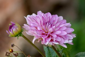 Pink beautiful dahlia