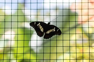 Black and yellow birdwing butterfly hold on cage in the park of Bali island, Indonesia.