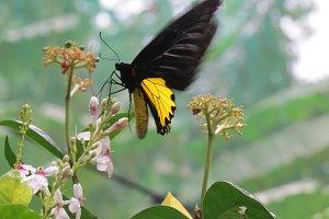 Yellow & Black Butterfly feeding
