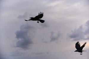 Black crow flying on the sky.