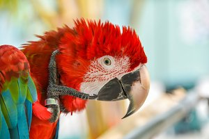 Greenwinged Macaw aviary