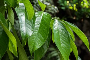 Tropical leaves background outdoors, Bali island, Indonesia.