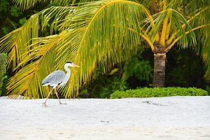 Egret walking on the beach