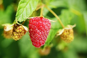 Raspberry closeup in garden