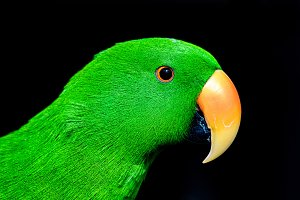 Green ecletus parrot (male)