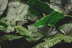 Big green tropical leaves