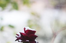 red rose and snow. -50%