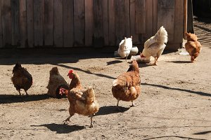 Chicken walking outside wooden farm