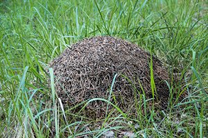 Big anthill in the reen grass