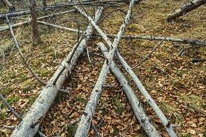 Fallen dead trees