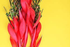 Billbergia on a yellow background