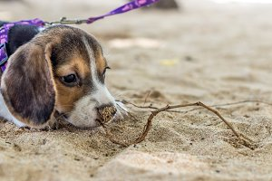 Small dog, beagle puppy playing on beach of tropical island Bali, Indonesia.