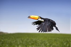 Toucan flying