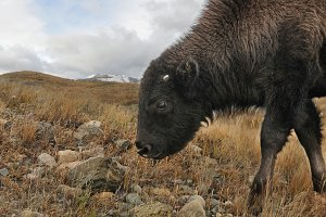Bison Six