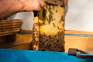 Man engage apiculture