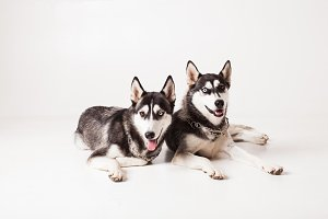 Two brothers huskies