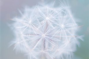 Beautiful close up dandelion