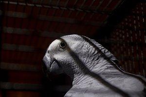 African grey parrot jako.