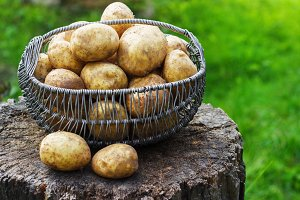 raw baby potatoes in a metal basket in the garden on the stump
