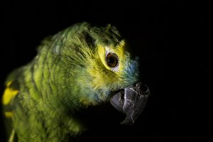 Parrot amazon portrait.
