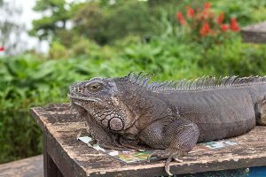 Close up of rock iguana also known as the Cuban ground iguana. Outside of Tropical island Bali, Indonesia.