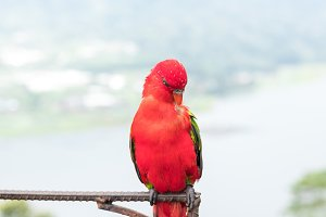 Red Parrot outside, tropical Bali island, Indonesia.