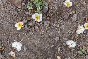 White flowers on the ground background. Tropical island Bali, Indonesia.