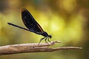 Image of Euphaea Masoni Dragonfly.