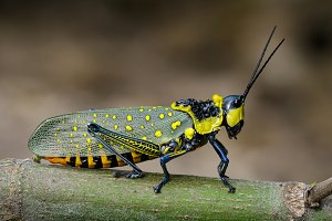 Spotted grasshopper. Insect, Animal
