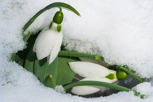 Snowdrop flower in a snow