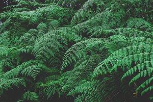 Large green ferns