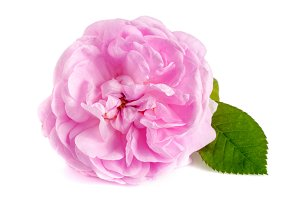 wild rose blooming flower isolated on a white background