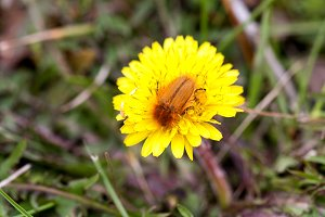 May bug or cockchafer or Melolontha on a dandelion
