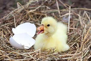 Cute little domestic gosling with broken eggshell in straw nest