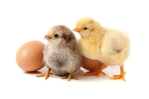 two cute little chicken with egg isolated on white background