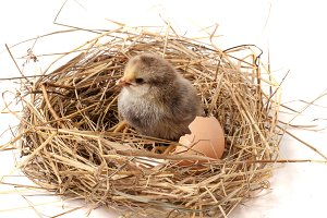 baby chicken with broken eggshell in the straw nest on white background