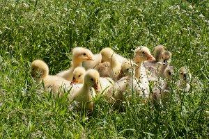 A flock of little geese grazing in green grass