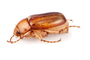 May beetle or Cockchafer or Melolontha isolated on white background