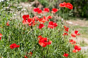 Blooming poppies in summer field as background