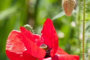 red poppy flower close-up macro as background