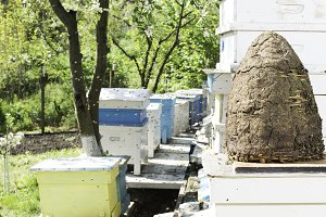 Swarm of bees fly to beehive.