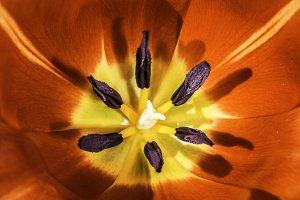 Flower tulip stamens