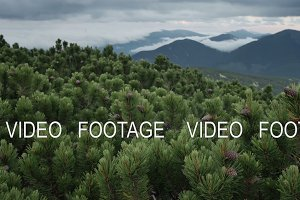 green spruce with cones on mountain top in cloudy windy summer day. smooth movement
