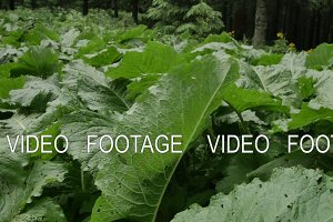 green leaves of burdock shakes on the wind in forest. smooth movement in nature