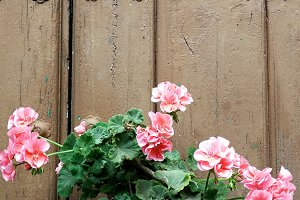 Geraniums in a pot of clay