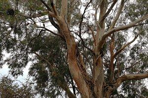 Eucalyptus in a Mediterranean forest