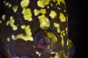 Dusky grouper portrait