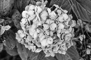 Chrysantemum Detail