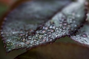 Dewdrops on Rose Leaf