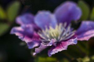 Clematis Bloom with Dew